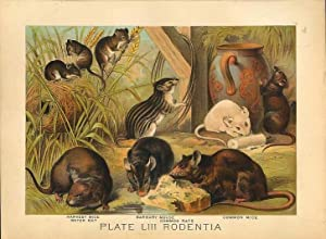 Original Antique 1880 Chromolithograph HARVEST MICE WATER RAT BARBARY MOUSE [liii]