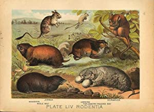 Original Antique 1880 Chromolithograph JERBOA HAMSTER DORMOUSE LEMMING POUCHED RAT MOLE RAT [liv]