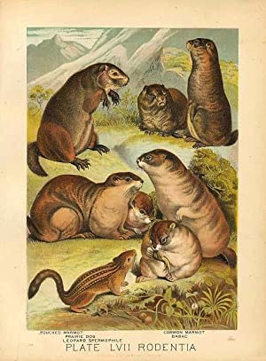 Original Antique 1880 Chromolithograph POUCHED MARMOT PRAIRIE DOG BABAC GROUND SQUIRREL [lvii]