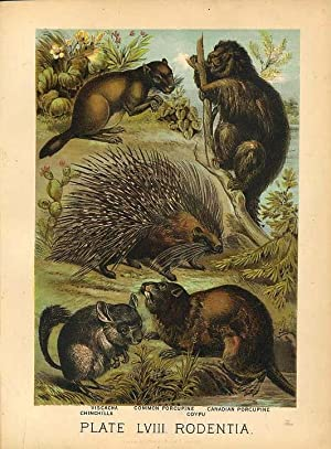 Original Antique 1880 Chromolithograph CHINCHILLA PORCUPINE VISCACHA COYPU [lviii]