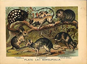 Original Antique 1880 Chromolithograph DASYURE OPPOSSUMS BANDICOOT CHAEROPUS [lxii]