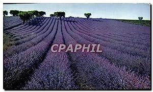 Carte Postale Moderne Champ De Lavande Lavender
