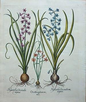 I Ornithogalum minus - II Hyacinthus Orientalis variegatus - III Hyacinthus Orientalis mixtus. [...
