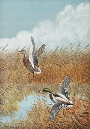 Gouache of male and female mallard ducks: Burke, Edgar