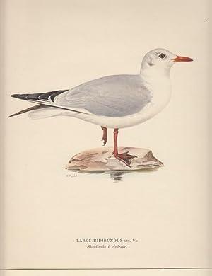 Larus Ridibundus. Skrattmas i vinterdr.: Hallberg, Bror