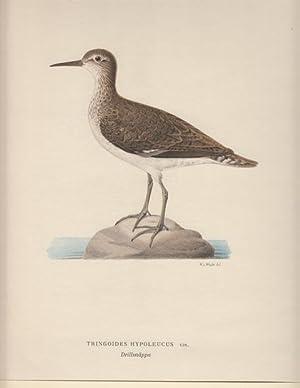 Tringoides Hypoleucus. Drillsnäppa.: Wright, Wilhelm von