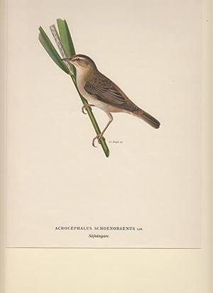Acrocephalus Schoenobaenus. Säfsangare.: Wright, Magnus von