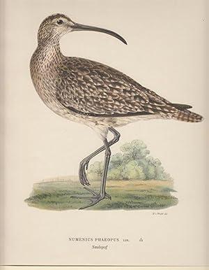 Numenius Phaeopus. Smaspof.: Wright, Magnus von
