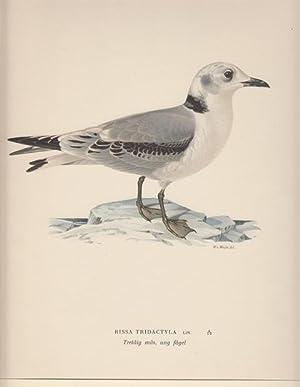 Rissa Tridactyla. Tretaig mas, ung fagel.: Wright, Wilhelm von