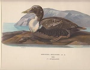 Somateria Mollissima. Ejder i öfvergangsdräkt (female).: Wright, Wilhelm von