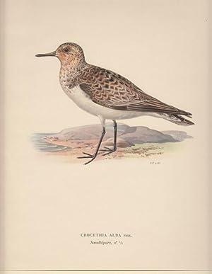 Crocethia Alba. Sandlöpare (female).: Hallberg, Bror