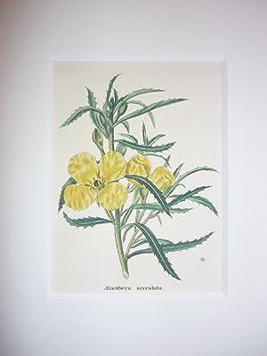 Oenothera serrulata.-: Nachtkerze, zackenblättrige.-