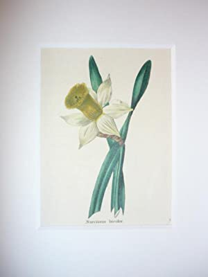 Narcissus bicolor.: Narzisse, zweifarbige.-