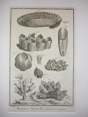 Histoire Naturelle, coquilles de mer, multivalves.: Diderot.- Muscheln.- Seepocken.-