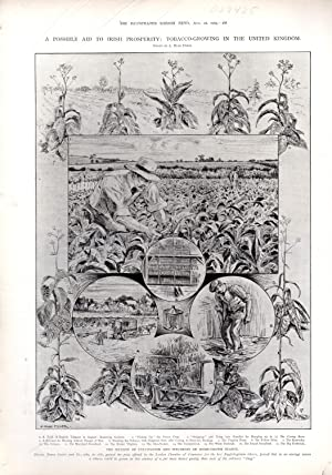 ENGRAVING: 'A Possible Aid to Irish Prosperity: Tobacco'. from the Illustrated London News ...