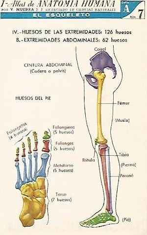 LAMINA 2153: El esqueleto. Extremidades abdominales. Serie: V. Muedra