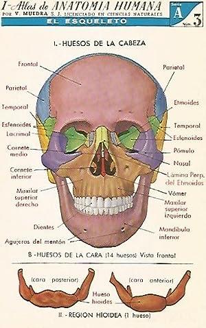 Atlas De Anatomia Humana Muedra - AbeBooks