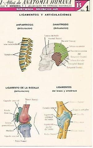 LAMINA 2157: Sistema muscular. Ligamentos y articulaciones.: V. Muedra