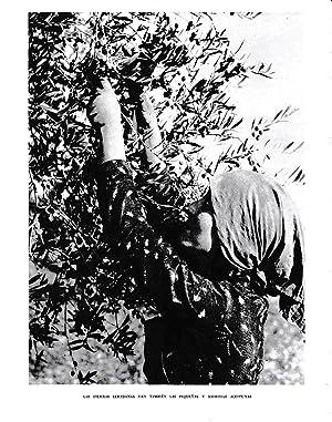 LAMINA 6476: Las aceitunas de las tierras: Jose Pla