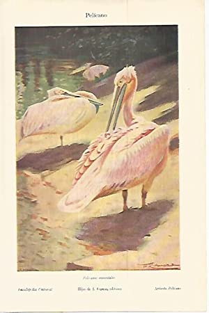 LAMINA ESPASA 17936: Pelicano: Varios