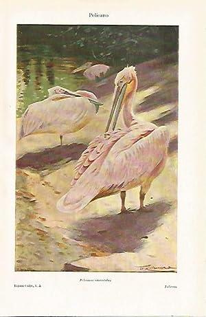 LAMINA ESPASA 15670: Pelicano: Varios