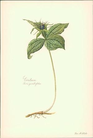 Einbeere - Paris quadrifolia. Druck nach Aquarell: Felsko, Elsa M.: