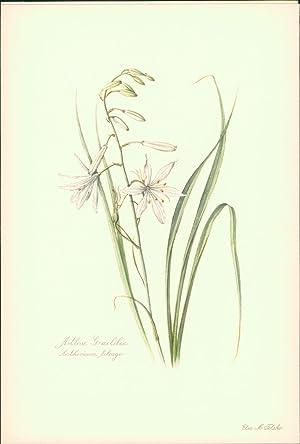Astlose Graslilie - Anthericum liliago. Druck nach: Felsko, Elsa M.: