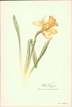 Gelbe Narzisse - Narcissus pseudonarcissus. Druck nach: Felsko, Elsa M.: