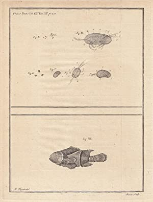 Observations on some Bivalve Insects, found in common Water. Read April 18, 1771.From The ...