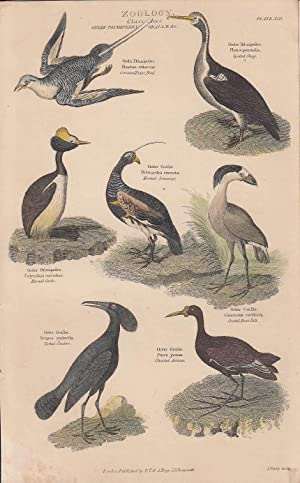 HAND COLOURED PRINT]. Zoology. Class Aves. Order