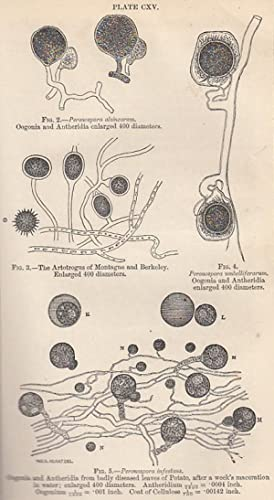 The Resting Spores of The Potato Fungus. A rare original article from the Transactions of the Royal...
