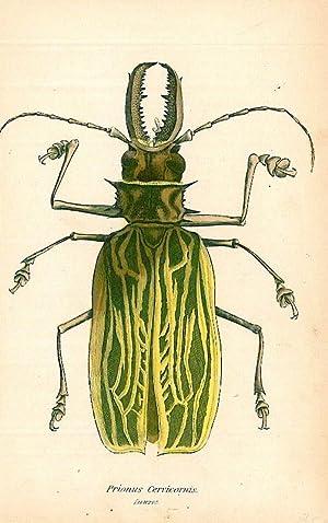 """KÄFER. - Bockkäfer. """"Prionus Cervicornis"""". Lang-Gehörnter Bockkäfer."""