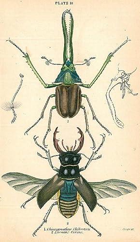 "KÄFER. - Hirschkäfer. ""1. Chiasognathus Chiloensis. 2. Lucanus Cervus"". Der ..."