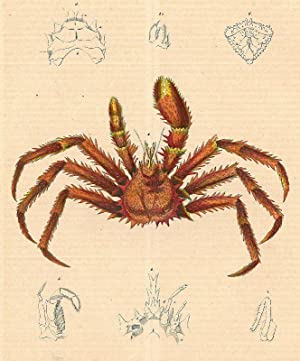 KREBSE. - Krabbe. Darstellung einer Krabbe, umgeben von sechs Detailansichten.