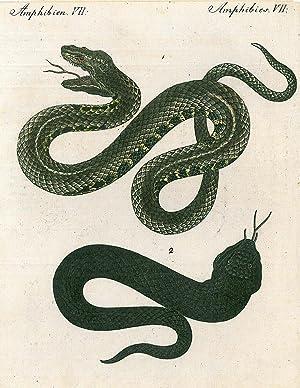 """SCHLANGE. - Viper. """"Die Wasser-Viper. Die schwarze Viper"""". Zwei Darstellungen auf einem ..."""