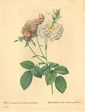 "BLUMEN. - Rosen. - Damaszenerrose. ""Rosa damascena"