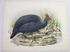 Numida Coronata (Crowned Guinea Fowl) original litho. from Elliot's Phasianidae