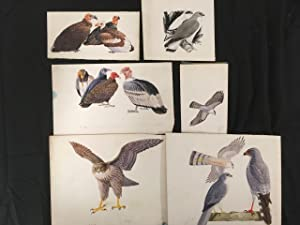 Collection of 20 original artwork illustrations of birds of prey, water-colour and pen and ink on...