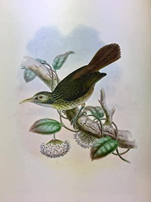 Makira Honeyeater - Meliarchus Sclateri, hand coloured lithograph