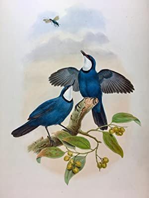 Blue Bodied Eupetes - Eupetes Caerulescens, hand coloured lithograph