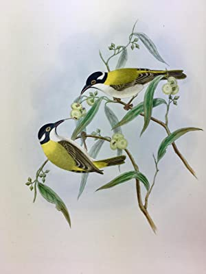 Golden-backed Honeyeater - Melithreptus laetior, hand coloured lithograph