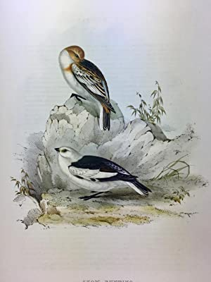 Snow Bunting from John Gould?Äôs 'The Birds of Europe' hand coloured lithograph