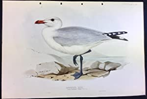Audouin's Gull by Edward Lear from John Gould?Äôs 'The Birds of Europe' hand coloured lithograph