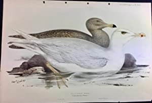 Glaucous Gull by Edward Lear from John Gould?Äôs 'The Birds of Europe' hand coloured lithograph