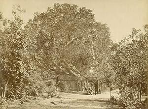 L'arbre de la Vierge.: ZANGAKI (C. &