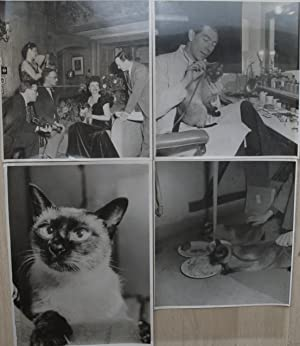 """Margaret Lockwood and the Siamese cat Sheba for the film """"Bedelia"""" of John Corfield, four ..."""