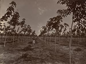 Oost-Java. Rubber plantage, Photo Juli 1909. Perc C, geplant December 1907 (2).: RUBBER PLANTAGE.