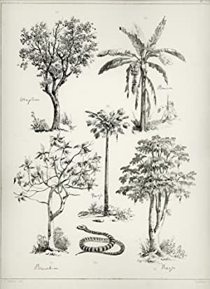 Lithograph with pictures of trees in Surinam, Oranjeboom, Bananenboom, Broodboom, Papaja.: SURINAM.
