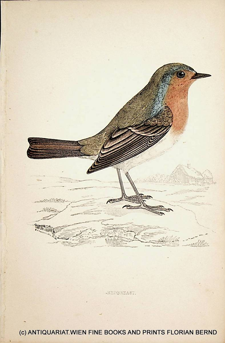 Redbreast / European robin / Erithacus rubecula / Rotkehlchen   [ ] (bi_30727711423) photo