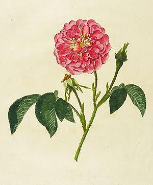 Rosen. - Damaszener-Rosen. - Marmorierte Damaszener-Rose. -: Carl Gottlob Roessig